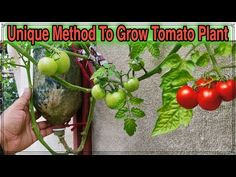 Best Method To Grow Tomato Plant in Plastic Hanging Bottle ll Vertical Gardening ll No Space Garden - Watch Video Growing Tomatoes, Growing Herbs, Growing Vegetables, Container Plants, Container Gardening, Organic Gardening, Gardening Tips, Rose Plant Care, Plants In Bottles