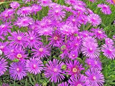 Iceplant - beautiful ground cover.