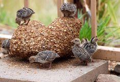 City Farming With Backyard Quail – An Alternative To Raising Chickens - http://www.ecosnippets.com/livestock-animals/city-farming-with-backyard-quail-an-alternative-to-raising-chickens/