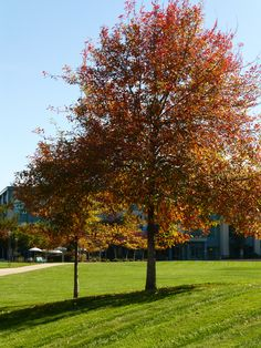 Autumn trees in Milpitas, CA.