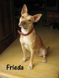 This is Frieda! She is a pit x in Calgary, AB, and is about 1 year old. Unfortunately her and her brother were dumped by a beach camp but luckily they were found and many people are attempting to a find a home for her! Frieda loves people and other pups, but chases cats. Can you blame her?! She is very sweet and with some training will be a great companion for anyone. More pictures of this sweetheart will be posted shortly. If she's already melted your heart please fill out our application…