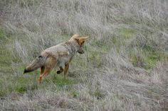 Coyote hunting voles