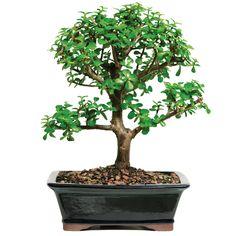 bonsai - Google-haku