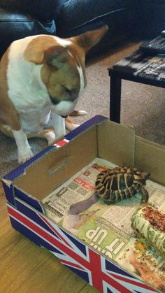 English Bull Terrier and a tortoise                                                                                                                                                     More