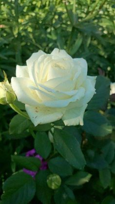 Best Screen Hybrid Tea Roses care Suggestions Cross tea could be the oldest group of carnations classified as modern-day yard roses. These people were made My Flower, Flower Power, White Roses, White Flowers, Beautiful Roses, Beautiful Flowers, Most Popular Flowers, Asian Garden, Rosa Rose