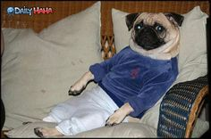 Chillin' Pug. A pug after my own heart (well more than the usual pug) - sweatpants pug!