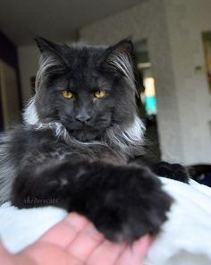 (8) Shedoros Maine Coon Cattery Black Smoke Maine Coon Cat