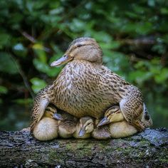 A mother duck shelters her ducklings with her wings.