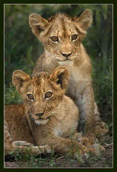 Lion Cubs: Very Lovable Looking.