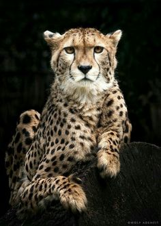 The cheetah by wolf ademeit wild animals pictures, animal pictures, fauna silvestre, exotic Cool Cats, Big Cats, Cats And Kittens, Siamese Cats, Animals And Pets, Baby Animals, Cute Animals, Wild Animals, Beautiful Cats