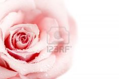 Beautiful fresh pink rose with morning dew isolated on white background