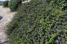 Ceanothus Emily Brown: Planted in front of the fence. Hope it does OK in the heat.