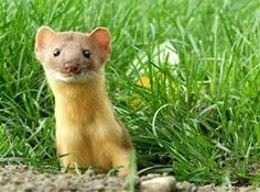Weasel Totem shares the ability to have silent observation and finding  secrets thru observation.