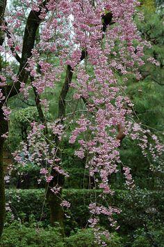 Sakura in Heian Shrine #japan #kyoto