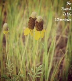 Yellow Prairie Flowers cousins to Suzi