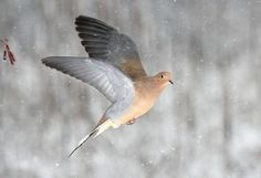 Toxic Lead to Cover Iowa Killing Fields due to dove hunting (bullshit dum ass ) Fly Drawing, Feather Drawing, Dove Flying, Dove Hunting, Dove Pigeon, Forest Light, Mourning Dove, Dove Bird, Animals Amazing