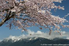 Beautiful Vancouver! Cherry blossoms and north shore mountains.
