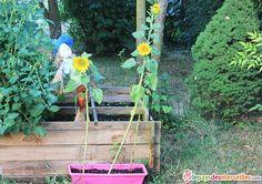 Faire pousser des tournesols