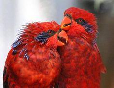 Red Lorikeets - Australia