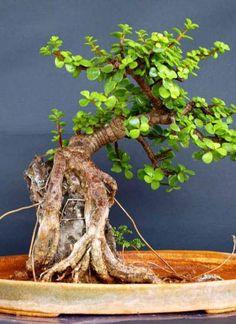 Bonsai da plante de Jade, a Crassula ovata, espécie de planta com flor pertencente à família Crassulaceae.  Fotografia: http://www.rollingnature.com