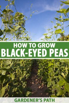 Not just a band, black-eyed peas are a New Year's good luck tradition and a veggie garden star. They take months to produce, but they're easy-peasy to grow in average to poor soil, withstanding heat and drought. Learn how to grow black-eyed peas in your garden now on Gardener's Path. #blackeyedpeas #gardenerspath Growing Vegetables At Home, Growing Herbs, Vegetables Garden, Gardening Tips, Vegetable Gardening, Garden Pests, Fruit Garden, Black Eyed Peas, Outdoor Plants