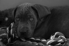 Our little Cane Corso puppy when she was just a few months old..