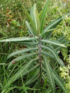 Uberraschungsgaste Im Garten Wolfsmilch Pflanzen Giftige Pflanzen