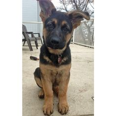 Kovu the German Shepherd ❤ liked on Polyvore featuring animals, dogs, pets, backgrounds and pictures