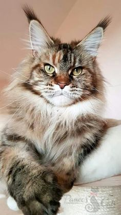 Gorgeous tabby. Kittens Cutest, Cats And Kittens, Tabby Cats, Kitty Cats, Pet Stroller, Maine Coon Kittens, Dog Facts, Norwegian Forest Cat, Cat Boarding