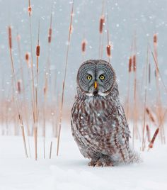 Great Grey in Cattails by Rick Dobson