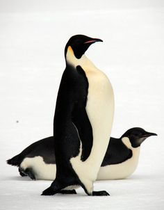 Emperor penguin | ... to a Boilermaker Named Horse: Antarctic Wildlife - Emperor Penguins