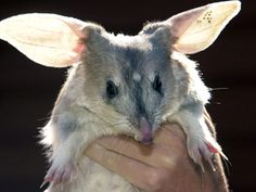 The Bilby: Not a rabbit, the very cute bilby is an a nocturnal, burrowing marsupial which lives in dry areas of central Australia. Recognized as a endangered species,  there has been success in rallying recovery by promoting the 'Easter Bilby'. http://pinterest.com/pin/2814818487278744/ Photo: Qld Parks and Wildlife #Bilby #Australia