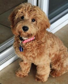 Mini labradoodle. These are one of the cutest dogs.  I wonder how many end up in shelters.  Adopt a shelter pet is the only way to go!