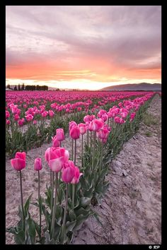 Mount Vernon Washington Tulip Fields in Nature & Landscapes Mount Vernon Washington, Evergreen State, Tulip Festival, Tulip Fields, Pacific Northwest, Pretty Flowers, Trees To Plant, North West, Places To Travel