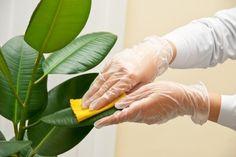 Una recomendación que se aplica a todas las plantas: NO USE productos que lustran las hojas. Estos productos obstruyen los estomas de la planta impidiéndoles sus funciones fisiológicas normales.