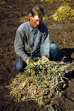 Bill Stagg, homesteader, with pinto beans, Pie Town, New Mexico; photograph by Farm Security Administration photographer  Russell Lee in October 1940. -- Eyes of the Great Depression 082.