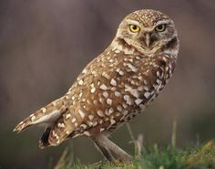 The Burrowing Owl is endangered in Canada, threatened in Mexico, and a species of special concern in Florida and most of the western USA. It is a state endangered species in Colorado. Endangered Plants, Endangered Species, Owl Who, Saw Whet Owl, Burrowing Owl, World Birds, Owl Pictures, Small Birds, Birds Of Prey