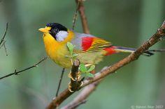 Mesia Prata-orelhudo por Steven Wee  Leiothrix argentauris. Hills de Fraser, Pahang, na Malásia.