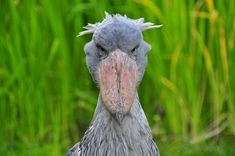 Shoebill, what an amazing bird