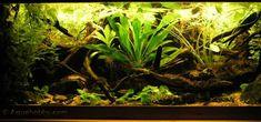 Biotope tank de Guyana riverbasin - mais info: http://www.aquahobby.com/tanks/e_tank0608.php