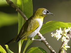 Black-capped White-eye( Zosterops atricapilla) by Lip Kee.
