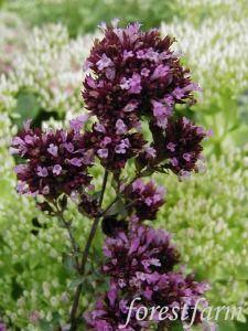 Origanum laevigatum Herrenhausen  - Purple Oregano  - Flower