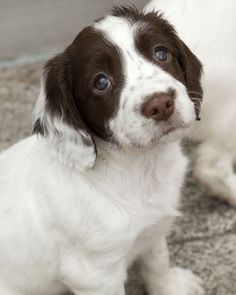 One of Greater Manchester Police's latest litter of pups perfects the classic spaniel sorrowful look. The pups have just arrived at the Force's dog training centre to begin learning the skills required to be a search dog. www.gmp.police.uk