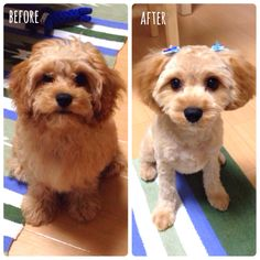 Cockapoo Before And After Grooming Grooming Cockapoo Grooming Cockapoo Dog Grooming