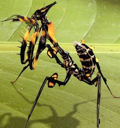 giant devil flower mantis (idolomantis diabolica)