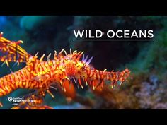 The weird world of seahorses and pipefish In our first episode of this new series of Wild Oceans, cameraman Bart Lukasik takes us into the weird world of seahorses and pipefish. Watch as he employs artificial light to bring out the colours of the ornate ghost pipefish and see how different species mimic seaweed and corals. By: Earth Touch.