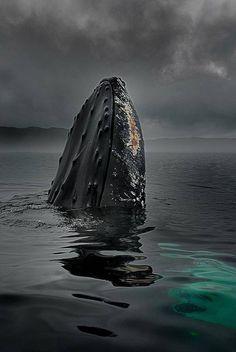 Humpback, Alaska