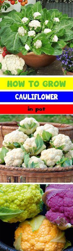 How to Grow Cauliflower in Pot, Growing Cauliflower in a Container, How to Grow Cauliflower, Vegetable Cauliflower, Cauliflower, Vegetables, Vegetable Garden, Spring Garden, Gardening, Tips, Homesteading, Gardening, Cool Season Crops, Container Gardening #OrganicGardening