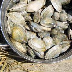 maine steamer clams