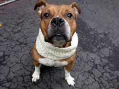 TO BE DESTROYED – 04/08/15 Manhattan Center – P My name is TAJI. My Animal ID # is A1030489. I am a female brown and white american staff mix. The shelter thinks I am about 5 YEARS old. I came in the shelter as a OWNER SUR on 03/16/2015 from NY 10458, owner surrender reason stated was INAD FACIL.